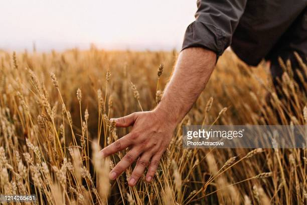 a farmer in a grain field - agronomist stock pictures, royalty-free photos & images
