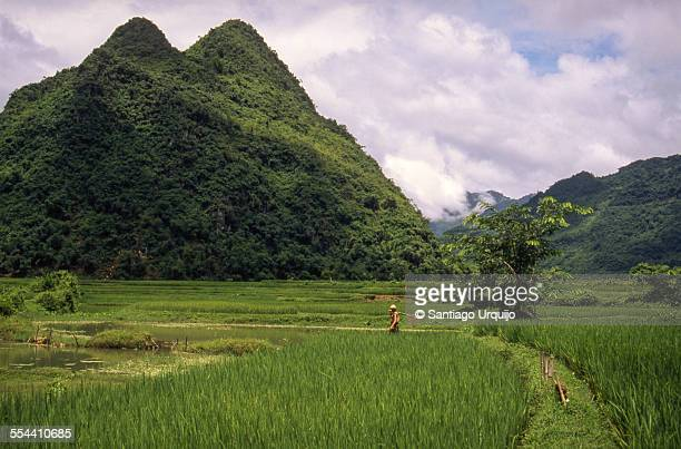 farmer in a rice paddy - mai chau stock pictures, royalty-free photos & images