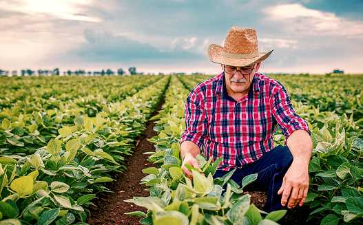 Farmer in a soybean field. Agricultural concept 1158664559