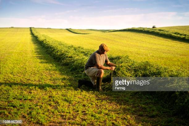 A farmer in an alfalfa field at harvest checking the crop.