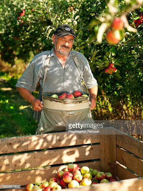 Farmer in apple orchard