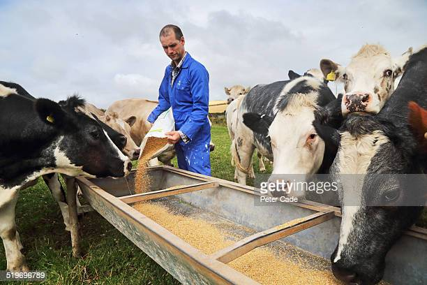 farmer in blue boiler suit feeding cows - farmer stock pictures, royalty-free photos & images