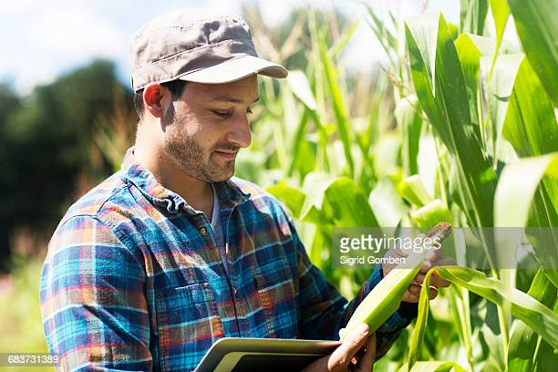 Farmer in corn field quality checking corn plants