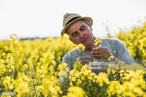 Farmer in field examining rape blossom