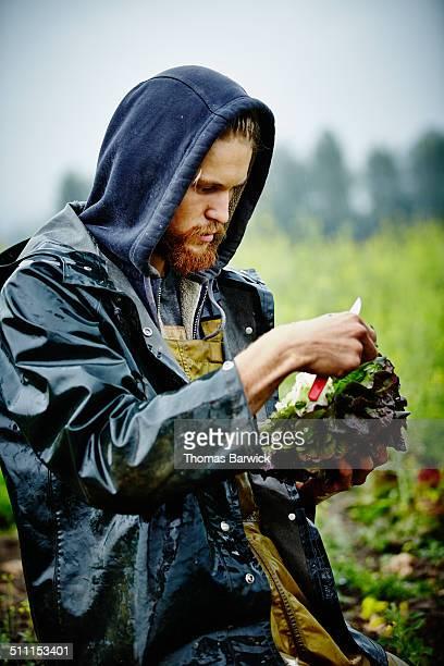 Farmer in field inspecting organic lettuce