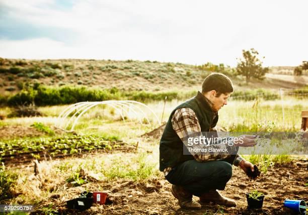 Farmer in garden preparing to plant tomato starts