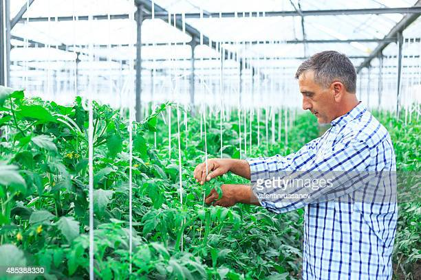 Farmer In Greenhouse Checking Tomato Plants