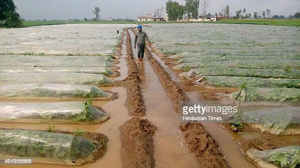 A farmer in his vegetable field that is swamped after heavy rain at Jandiala Guru on March 2 2015 in Amritsar India Rains continued to lash Punjab...