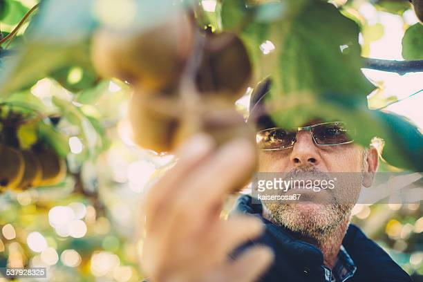 Farmer in Kiwi fruit plantation