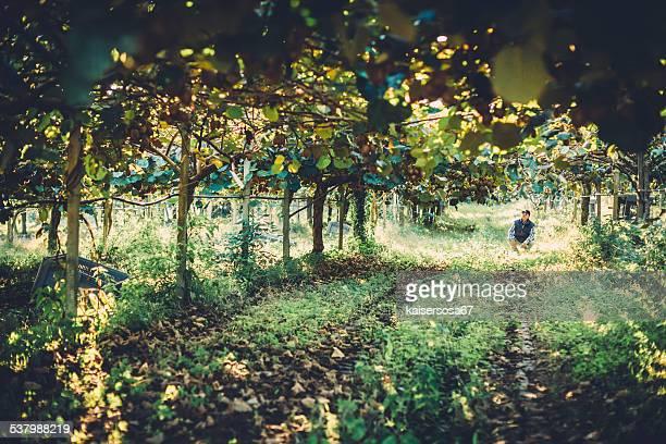 farmer in kiwi fruit plantation - kiwi fruit stock pictures, royalty-free photos & images