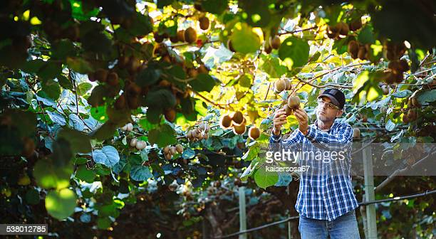 Farmer in Kiwi plantation checking fruit