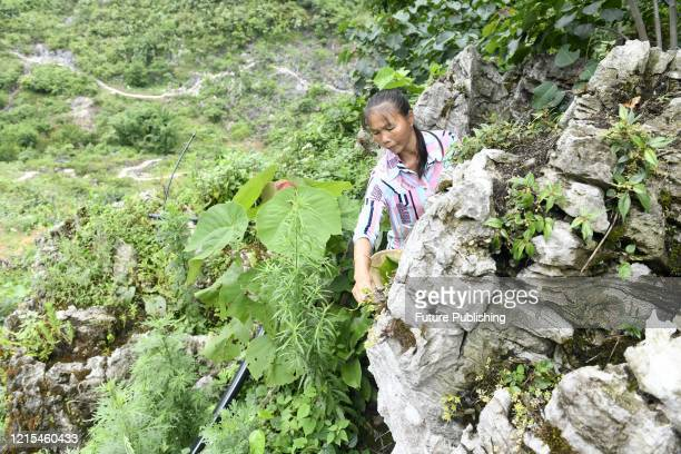 ANLONG CHINA MAY 27 2020 A farmer in polao village is picking Dendrobium flowers Anlong county Guizhou Province China May 27 2020 Polao village was...