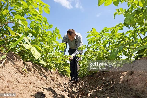 farmer in potato field - rauwe aardappel stockfoto's en -beelden