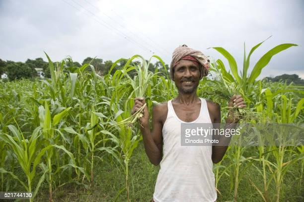 Farmer in rice field jaunpur at uttar pradesh, India