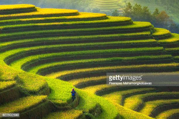 Farmer in Rice fields on terraced, Vietnam