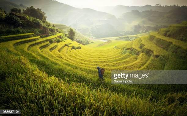 farmer in rice fields on terraced, vietnam. - rice terrace stockfoto's en -beelden