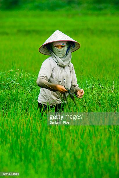 CONTENT] Farmer in Rice Paddy Field Cat Ba Island Halong Bay Vietnam South East Asia
