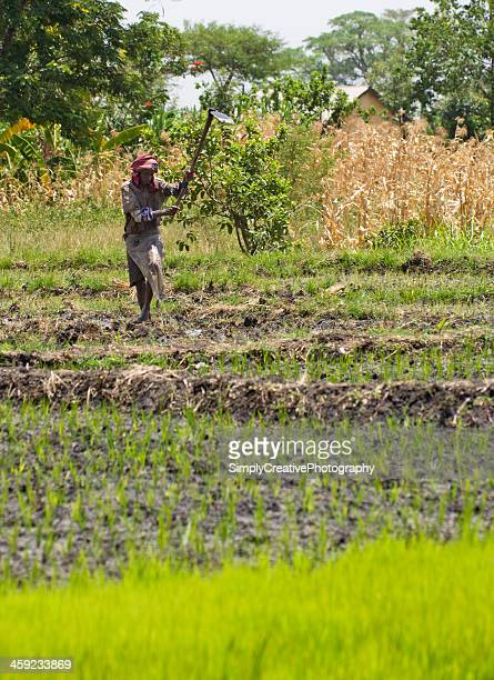 farmer in rice paddy - get your hoe ready stock pictures, royalty-free photos & images