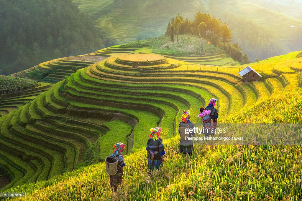 Farmer in rice terrace Vietnam come back to home : Stock Photo