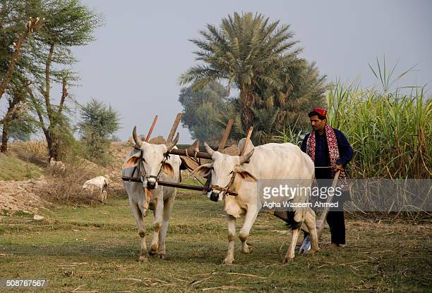 Farmer in Sindh leaving with a pair of bulls to plow his lands early morning.