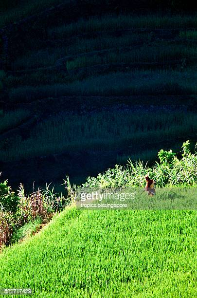 farmer in the banaue rice terraces - filipino farmer stock photos and pictures