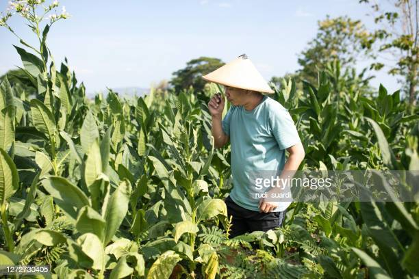 farmer in the tobacco plantation - cuba stock pictures, royalty-free photos & images