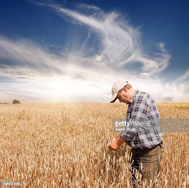 Farmer in the wheat field