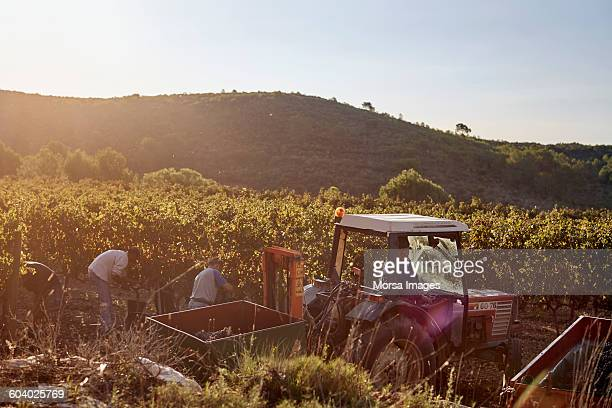 Farmer in tractor harvesting grapes