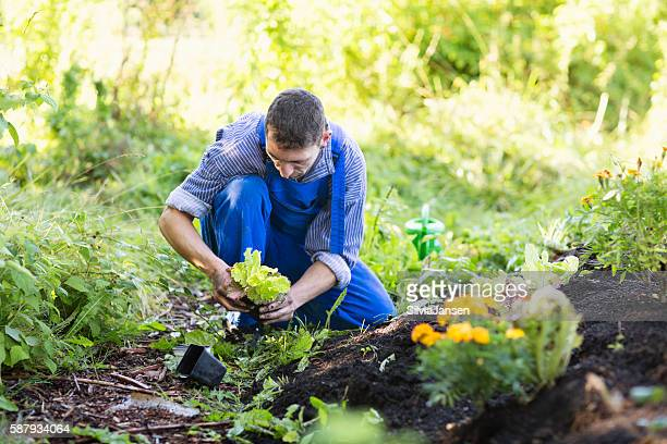 farmer in vegetable garden producing organic food planting salad