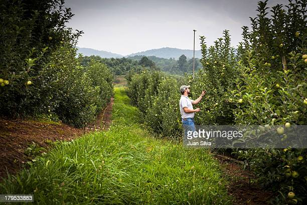 Farmer inspecting apple tree in orchard,