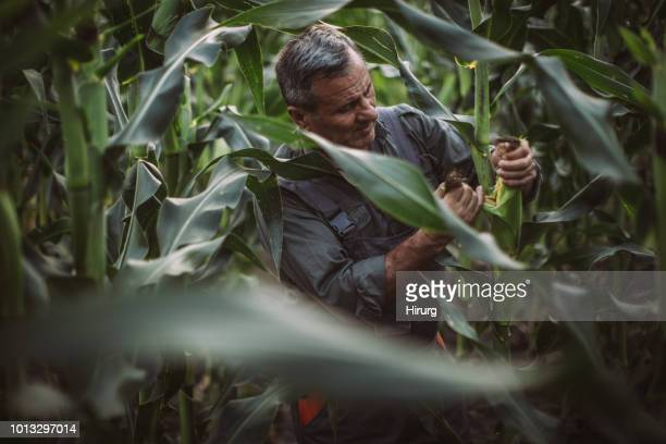farmer inspecting corn - corn cob stock photos and pictures