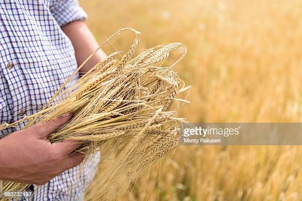 farmer inspecting crop of organic barley in field, close up - monty rakusen stock-fotos und bilder