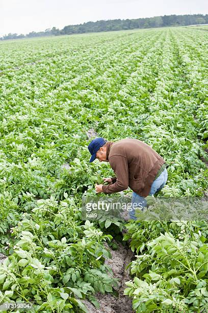 farmer inspecting crops in field - potato harvest stock pictures, royalty-free photos & images