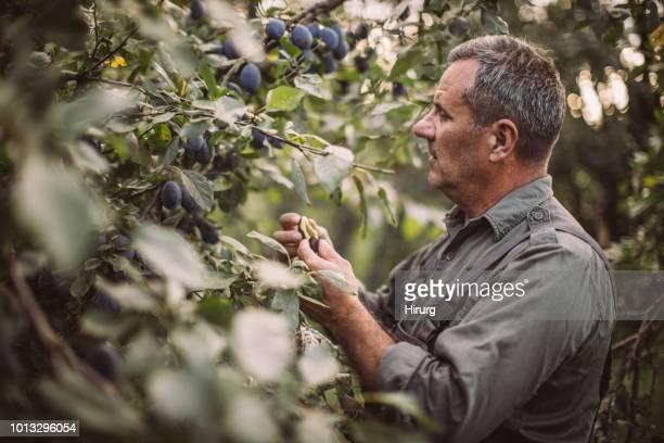 Farmer inspecting his abundant yield of plum in orchard