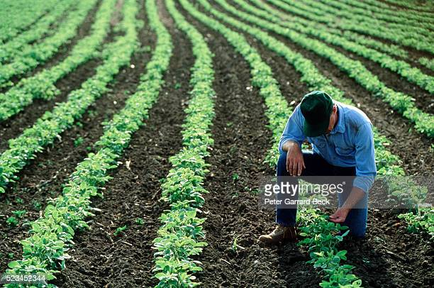 farmer inspecting his soybean field - soybean harvest stock pictures, royalty-free photos & images
