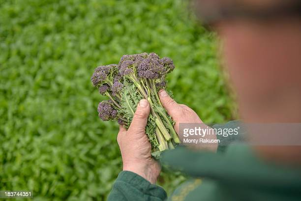 farmer inspecting organic purple sprouting broccoli, close up - tadcaster stock photos and pictures