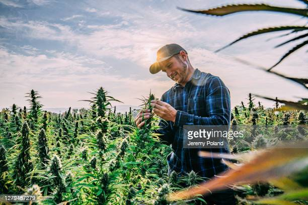 farmer inspects his mature herbal cannabis plants at a cbd oil hemp marijuana farm in colorado - cbd oil stock pictures, royalty-free photos & images