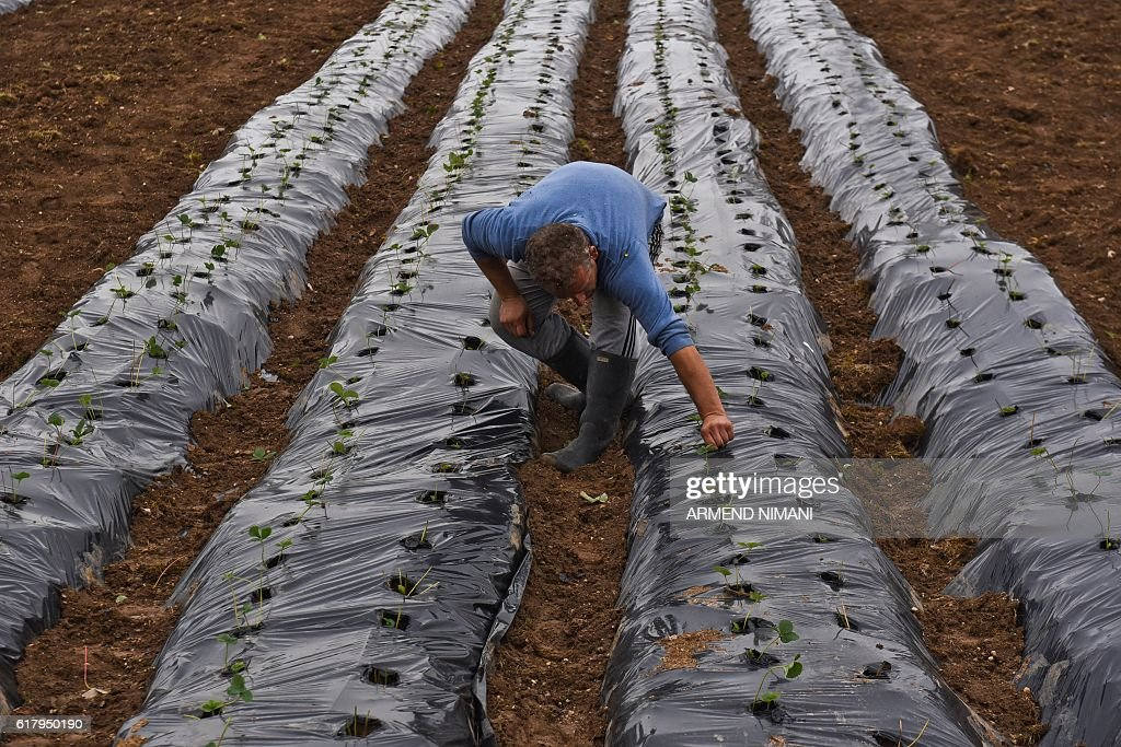 A farmer inspects his strawberry plants under plastic mulches in a field near the village of slivovo on October 25, 2016. / AFP / ARMEND
