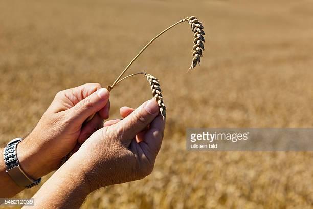 farmer is checking the corn