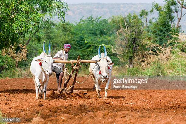 A farmer is ploughing a field using white oxen for pulling the plough