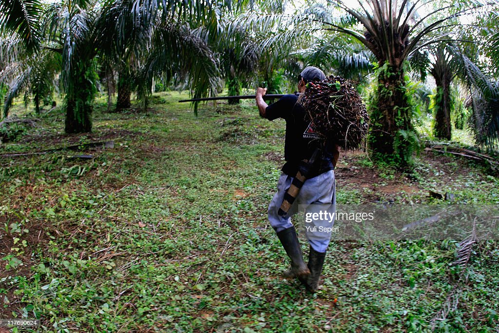 A farmer is seen harvesting oil palm fruit for Crude Palm Oil (CPO) on June 24, 2011 in Bintan, Indonesia. on June 24, 2011 in Bintan Island, Indonesia. Indonesia will adjust it's palm oil export tax in July to 20 percent from 17.5 percent in June in an effort to slow down a massive rush to export the product as world demand increases. Indonesia is the top producer of palm oil in the world ahead of Malaysia and will produce over 21 million tonnes of palm oil this year.