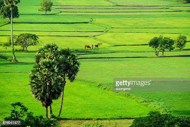 farmer is walking on the rice field - khmer stock pictures, royalty-free photos & images