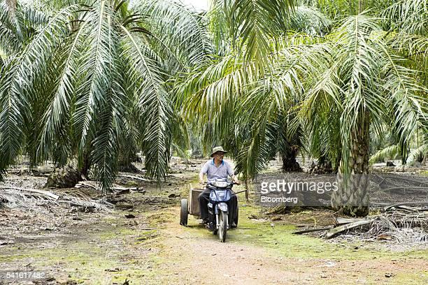 Farmer Isman Abdul Karim rides a motortricycle at an oil palm plantation in Kampung Raja Musa Selangor Malaysia on Thursday June 9 2016 Malaysian...