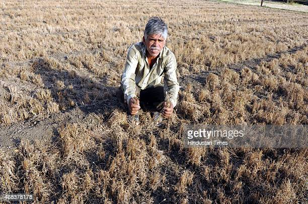 Farmer Jagdish Lohari shows his Isabgol crops damaged in unseasonal rains and hailstorm at Bharbhadia Village on April 2 2015 in Neemuch India...