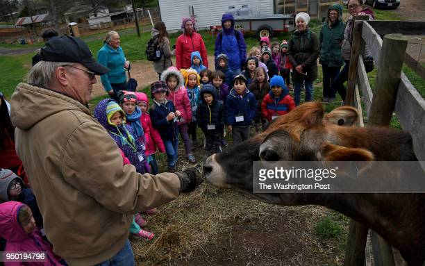 Farmer Jeff Waters feeds some hay to his favorite cow named Henry as children who are visiting the farm from the Montessori Peace School in Herndon...