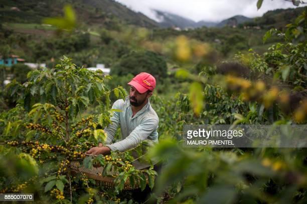 Farmer Joao Paulo Rodrigo picks coffee beans on his family farm in Forquilha do Rio municipality of Dores do Rio Preto Espirito Santo Brazil on...