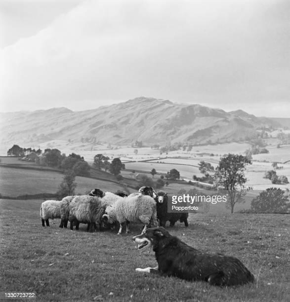 Farmer Joseph Relph's sheepdog Moss keeps a close eye on a flock of sheep grazing in a field on his master's farm at Threlkeld, near Keswick in...