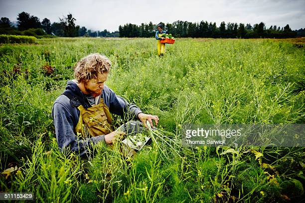 Farmer kneeling in field harvesting fennel