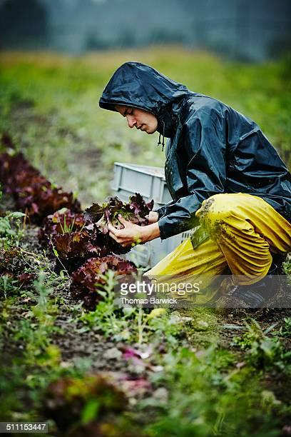 Farmer kneeling near row of organic lettuce