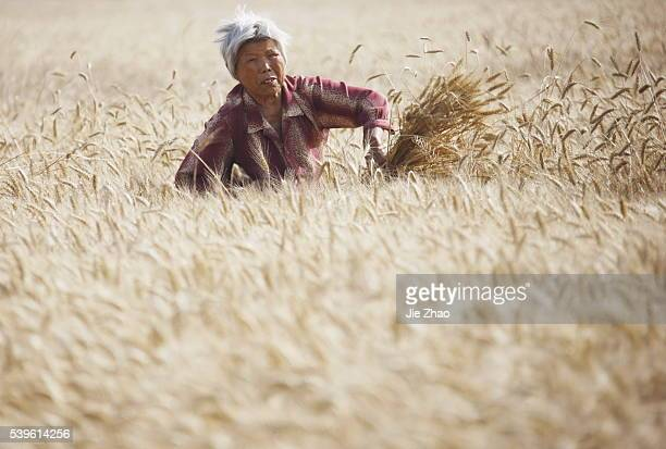 Farmer labors in the days of wheat harvest in Huaibei Anhui province China 6th June 2015